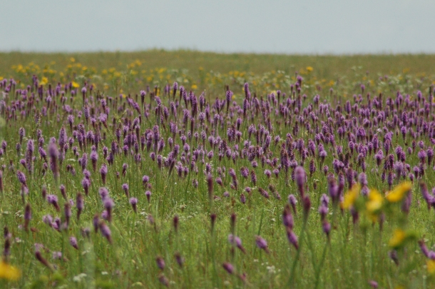 Purple_Field_3_by_SalsolaStock